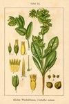 """Kleine Wachsblume - Cerinthe minor; Bildquelle: <a href=""""https://www.pflanzen-deutschland.de/quellen.php?bild_quelle=Deutschlands Flora in Abbildungen 1796"""">Deutschlands Flora in Abbildungen 1796</a>; Bildlizenz: <a href=""""https://creativecommons.org/licenses/publicdomain/deed.de"""" target=_blank title=""""Public Domain"""">Public Domain</a>;"""