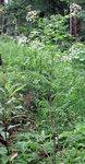"""Gold Kälberkropf - Chaerophyllum aureum; Bildquelle: <a href=""""https://www.pflanzen-deutschland.de/quellen.php?bild_quelle=Wikipedia User Mathe94"""">Wikipedia User Mathe94</a>; Bildlizenz: <a href=""""https://creativecommons.org/licenses/by-sa/3.0/deed.de"""" target=_blank title=""""Namensnennung - Weitergabe unter gleichen Bedingungen 3.0 Unported (CC BY-SA 3.0)"""">CC BY-SA 3.0</a>; <br>Wiki Commons Bildbeschreibung: <a href=""""https://commons.wikimedia.org/wiki/File:Chaerophyllum_aureum1.JPG"""" target=_blank title=""""https://commons.wikimedia.org/wiki/File:Chaerophyllum_aureum1.JPG"""">https://commons.wikimedia.org/wiki/File:Chaerophyllum_aureum1.JPG</a>"""