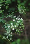 """Knolliger Kälberkropf - Chaerophyllum bulbosum; Bildquelle: <a href=""""https://www.pflanzen-deutschland.de/quellen.php?bild_quelle=Wikipedia User Franz Xaver"""">Wikipedia User Franz Xaver</a>; Bildlizenz: <a href=""""https://creativecommons.org/licenses/by-sa/3.0/deed.de"""" target=_blank title=""""Namensnennung - Weitergabe unter gleichen Bedingungen 3.0 Unported (CC BY-SA 3.0)"""">CC BY-SA 3.0</a>;"""