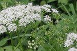 """Rauhhaariger Kälberkropf - Chaerophyllum hirsutum; Bildquelle: <a href=""""https://www.pflanzen-deutschland.de/quellen.php?bild_quelle=Wikipedia User HermannSchachner"""">Wikipedia User HermannSchachner</a>; Bildlizenz: <a href=""""https://creativecommons.org/licenses/by-sa/3.0/deed.de"""" target=_blank title=""""Namensnennung - Weitergabe unter gleichen Bedingungen 3.0 Unported (CC BY-SA 3.0)"""">CC BY-SA 3.0</a>; <br>Wiki Commons Bildbeschreibung: <a href=""""https://commons.wikimedia.org/wiki/File:Chaerophyllum_hirsutum_(Wimper-K%C3%A4lberkropf)_IMG_20764.JPG"""" target=_blank title=""""https://commons.wikimedia.org/wiki/File:Chaerophyllum_hirsutum_(Wimper-K%C3%A4lberkropf)_IMG_20764.JPG"""">https://commons.wikimedia.org/wiki/File:Chaerophyllum_hirsutum_(Wimper-K%C3%A4lberkropf)_IMG_20764.JPG</a>"""