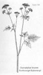 """Rauhhaariger Kälberkropf - Chaerophyllum hirsutum; Bildquelle: <a href=""""https://www.pflanzen-deutschland.de/quellen.php?bild_quelle=Friedrich Oltmanns Pflanzenleben des Schwarzwaldes Tafeln 1927"""">Friedrich Oltmanns Pflanzenleben des Schwarzwaldes Tafeln 1927</a>; Bildlizenz: <a href=""""https://creativecommons.org/licenses/publicdomain/deed.de"""" target=_blank title=""""Public Domain"""">Public Domain</a>;"""