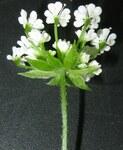 """Hecken Kälberkropf - Chaerophyllum temulum; Bildquelle: <a href=""""https://www.pflanzen-deutschland.de/quellen.php?bild_quelle=Wikipedia User Rasbak"""">Wikipedia User Rasbak</a>; Bildlizenz: <a href=""""https://creativecommons.org/licenses/by-sa/3.0/deed.de"""" target=_blank title=""""Namensnennung - Weitergabe unter gleichen Bedingungen 3.0 Unported (CC BY-SA 3.0)"""">CC BY-SA 3.0</a>; <br>Wiki Commons Bildbeschreibung: <a href=""""https://commons.wikimedia.org/wiki/File:Chaerophyllum_temulum_inflorescence_(16).jpg"""" target=_blank title=""""https://commons.wikimedia.org/wiki/File:Chaerophyllum_temulum_inflorescence_(16).jpg"""">https://commons.wikimedia.org/wiki/File:Chaerophyllum_temulum_inflorescence_(16).jpg</a>"""
