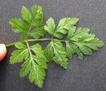 """Hecken Kälberkropf - Chaerophyllum temulum; Bildquelle: <a href=""""https://www.pflanzen-deutschland.de/quellen.php?bild_quelle=Wikipedia User Rasbak"""">Wikipedia User Rasbak</a>; Bildlizenz: <a href=""""https://creativecommons.org/licenses/by-sa/2.0/deed.de"""" target=_blank title=""""Namensnennung - Weitergabe unter gleichen Bedingungen 2.0 Unported (CC BY-SA 2.0)"""">CC BY 2.0</a>; <br>Wiki Commons Bildbeschreibung: <a href=""""https://commons.wikimedia.org/wiki/File:Chaerophyllum_temulum_leaf_(09).jpg"""" target=_blank title=""""https://commons.wikimedia.org/wiki/File:Chaerophyllum_temulum_leaf_(09).jpg"""">https://commons.wikimedia.org/wiki/File:Chaerophyllum_temulum_leaf_(09).jpg</a>"""