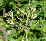"""Hecken Kälberkropf - Chaerophyllum temulum; Bildquelle: <a href=""""https://www.pflanzen-deutschland.de/quellen.php?bild_quelle=Wikipedia User Rasbak"""">Wikipedia User Rasbak</a>; Bildlizenz: <a href=""""https://creativecommons.org/licenses/by/4.0/deed.de"""" target=_blank title=""""Namensnennung 4.0 International (CC BY 4.0)"""">CC BY 4.0</a>; <br>Wiki Commons Bildbeschreibung: <a href=""""https://commons.wikimedia.org/wiki/File:Chaerophyllum_temulum_fruit_(01).jpg"""" target=_blank title=""""https://commons.wikimedia.org/wiki/File:Chaerophyllum_temulum_fruit_(01).jpg"""">https://commons.wikimedia.org/wiki/File:Chaerophyllum_temulum_fruit_(01).jpg</a>"""
