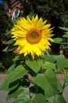 """Sonnenblume - Helianthus annuus; Bildquelle: <a href=""""https://www.pflanzen-deutschland.de/quellen.php?bild_quelle=Uwe H. Friese"""">Uwe H. Friese</a>; Bildlizenz: <a href=""""https://creativecommons.org/licenses/by-sa/3.0/deed.de"""" target=_blank title=""""Namensnennung - Weitergabe unter gleichen Bedingungen 3.0 Unported (CC BY-SA 3.0)"""">CC BY-SA 3.0</a>;"""