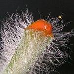 """Großes Schöllkraut - Chelidonium majus; Bildquelle: <a href=""""https://www.pflanzen-deutschland.de/quellen.php?bild_quelle=Wikipedia User Bff"""">Wikipedia User Bff</a>; Bildlizenz: <a href=""""https://creativecommons.org/licenses/by-sa/3.0/deed.de"""" target=_blank title=""""Namensnennung - Weitergabe unter gleichen Bedingungen 3.0 Unported (CC BY-SA 3.0)"""">CC BY-SA 3.0</a>; <br>Wiki Commons Bildbeschreibung: <a href=""""http://commons.wikimedia.org/wiki/File:Chelidonium_majus20100513_18.jpg"""" target=_blank title=""""http://commons.wikimedia.org/wiki/File:Chelidonium_majus20100513_18.jpg"""">http://commons.wikimedia.org/wiki/File:Chelidonium_majus20100513_18.jpg</a>"""