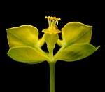 """Zypressen-Wolfsmilch - Euphorbia cyparissias; Bildquelle: <a href=""""https://www.pflanzen-deutschland.de/quellen.php?bild_quelle=Wikipedia User Ies"""">Wikipedia User Ies</a>; Bildlizenz: <a href=""""https://creativecommons.org/licenses/by-sa/3.0/deed.de"""" target=_blank title=""""Namensnennung - Weitergabe unter gleichen Bedingungen 3.0 Unported (CC BY-SA 3.0)"""">CC BY-SA 3.0</a>; <br>Wiki Commons Bildbeschreibung: <a href=""""https://commons.wikimedia.org/wiki/File:Euphorbia_cyparissias3_ies.jpg"""" target=_blank title=""""https://commons.wikimedia.org/wiki/File:Euphorbia_cyparissias3_ies.jpg"""">https://commons.wikimedia.org/wiki/File:Euphorbia_cyparissias3_ies.jpg</a>"""