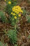 """Zypressen-Wolfsmilch - Euphorbia cyparissias; Bildquelle: <a href=""""https://www.pflanzen-deutschland.de/quellen.php?bild_quelle=Wikipedia User Svdmolen"""">Wikipedia User Svdmolen</a>; Bildlizenz: <a href=""""https://creativecommons.org/licenses/by-sa/3.0/deed.de"""" target=_blank title=""""Namensnennung - Weitergabe unter gleichen Bedingungen 3.0 Unported (CC BY-SA 3.0)"""">CC BY-SA 3.0</a>;"""