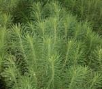 """Zypressen-Wolfsmilch - Euphorbia cyparissias; Bildquelle: <a href=""""https://www.pflanzen-deutschland.de/quellen.php?bild_quelle=Wikipedia User Ies"""">Wikipedia User Ies</a>; Bildlizenz: <a href=""""https://creativecommons.org/licenses/by-sa/3.0/deed.de"""" target=_blank title=""""Namensnennung - Weitergabe unter gleichen Bedingungen 3.0 Unported (CC BY-SA 3.0)"""">CC BY-SA 3.0</a>; <br>Wiki Commons Bildbeschreibung: <a href=""""https://commons.wikimedia.org/wiki/File:Euphorbia_cyparissias_07_ies.jpg"""" target=_blank title=""""https://commons.wikimedia.org/wiki/File:Euphorbia_cyparissias_07_ies.jpg"""">https://commons.wikimedia.org/wiki/File:Euphorbia_cyparissias_07_ies.jpg</a>"""