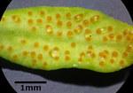 """Zypressen-Wolfsmilch - Euphorbia cyparissias; Bildquelle: <a href=""""https://www.pflanzen-deutschland.de/quellen.php?bild_quelle=Wikipedia User Stefan.lefnaer"""">Wikipedia User Stefan.lefnaer</a>; Bildlizenz: <a href=""""https://creativecommons.org/licenses/by-sa/3.0/deed.de"""" target=_blank title=""""Namensnennung - Weitergabe unter gleichen Bedingungen 3.0 Unported (CC BY-SA 3.0)"""">CC BY-SA 3.0</a>; <br>Wiki Commons Bildbeschreibung: <a href=""""https://commons.wikimedia.org/wiki/File:Euphorbia_cyparissias_sl5.jpg"""" target=_blank title=""""https://commons.wikimedia.org/wiki/File:Euphorbia_cyparissias_sl5.jpg"""">https://commons.wikimedia.org/wiki/File:Euphorbia_cyparissias_sl5.jpg</a>"""