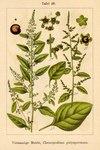 """Vielsamiger Gänsefuß - Chenopodium polyspermum; Bildquelle: <a href=""""https://www.pflanzen-deutschland.de/quellen.php?bild_quelle=Deutschlands Flora in Abbildungen 1796"""">Deutschlands Flora in Abbildungen 1796</a>; Bildlizenz: <a href=""""https://creativecommons.org/licenses/publicdomain/deed.de"""" target=_blank title=""""Public Domain"""">Public Domain</a>;"""