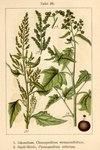 """Straßen-Gänsefuß - Chenopodium urbicum; Bildquelle: <a href=""""https://www.pflanzen-deutschland.de/quellen.php?bild_quelle=Deutschlands Flora in Abbildungen 1796"""">Deutschlands Flora in Abbildungen 1796</a>; Bildlizenz: <a href=""""https://creativecommons.org/licenses/publicdomain/deed.de"""" target=_blank title=""""Public Domain"""">Public Domain</a>;"""
