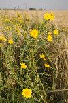 """Saat-Wucherblume - Chrysanthemum segetum; Bildquelle: <a href=""""https://www.pflanzen-deutschland.de/quellen.php?bild_quelle=Wikipedia User Pichard"""">Wikipedia User Pichard</a>; Bildlizenz: <a href=""""https://creativecommons.org/licenses/by-sa/3.0/deed.de"""" target=_blank title=""""Namensnennung - Weitergabe unter gleichen Bedingungen 3.0 Unported (CC BY-SA 3.0)"""">CC BY-SA 3.0</a>; <br>Wiki Commons Bildbeschreibung: <a href=""""https://commons.wikimedia.org/wiki/File:Chrysanthemum_segetum_forest-monthiers_80_15072007_3.jpg"""" target=_blank title=""""https://commons.wikimedia.org/wiki/File:Chrysanthemum_segetum_forest-monthiers_80_15072007_3.jpg"""">https://commons.wikimedia.org/wiki/File:Chrysanthemum_segetum_forest-monthiers_80_15072007_3.jpg</a>"""