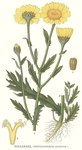 """Saat-Wucherblume - Chrysanthemum segetum; Bildquelle: <a href=""""https://www.pflanzen-deutschland.de/quellen.php?bild_quelle=Carl Axel Magnus Lindman Bilder ur Nordens Flora 1901-1905"""">Carl Axel Magnus Lindman Bilder ur Nordens Flora 1901-1905</a>; Bildlizenz: <a href=""""https://creativecommons.org/licenses/publicdomain/deed.de"""" target=_blank title=""""Public Domain"""">Public Domain</a>;"""