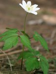 "Busch-Windröschen - Anemone nemorosa; Bildquelle: &copy; <a href=""https://www.pflanzen-deutschland.de/quellen.php?bild_quelle=Bönisch 2015"">Bönisch 2015</a> - <b>All rights reserved</b>"