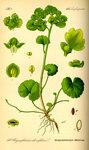 """Wechselblättriges Milzkraut - Chrysosplenium alternifolium; Bildquelle: <a href=""""https://www.pflanzen-deutschland.de/quellen.php?bild_quelle=Prof. Dr. Otto Wilhelm Thome Flora von Deutschland, Österreich und der Schweiz 1885, Gera, Germany"""">Prof. Dr. Otto Wilhelm Thome Flora von Deutschland, Österreich und der Schweiz 1885, Gera, Germany</a>; Bildlizenz: <a href=""""https://creativecommons.org/licenses/publicdomain/deed.de"""" target=_blank title=""""Public Domain"""">Public Domain</a>;"""