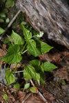 """Alpen-Hexenkraut - Circaea alpina; Bildquelle: <a href=""""https://www.pflanzen-deutschland.de/quellen.php?bild_quelle=Wikipedia User Wsiegmund"""">Wikipedia User Wsiegmund</a>; Bildlizenz: <a href=""""https://creativecommons.org/licenses/by-sa/3.0/deed.de"""" target=_blank title=""""Namensnennung - Weitergabe unter gleichen Bedingungen 3.0 Unported (CC BY-SA 3.0)"""">CC BY-SA 3.0</a>;"""