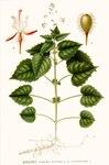 "Alpen-Hexenkraut - Circaea alpina; Bildquelle: <a href=""https://www.pflanzen-deutschland.de/quellen.php?bild_quelle=Carl Axel Magnus Lindman Bilder ur Nordens Flora 1901-1905"">Carl Axel Magnus Lindman Bilder ur Nordens Flora 1901-1905</a>; Bildlizenz: <a href=""https://creativecommons.org/licenses/publicdomain/deed.de"" target=_blank title=""Public Domain"">Public Domain</a>;"