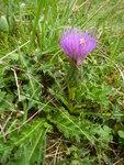 """Stengellose Kratzdistel - Cirsium acaule; Bildquelle: © <a href=""""https://www.pflanzen-deutschland.de/quellen.php?bild_quelle=Schultes 2014"""">Schultes 2014</a> - <b>All rights reserved</b>"""