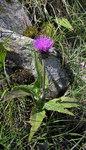 """Verschiedenblättrige Kratzdistel - Cirsium heterophyllum; Bildquelle: <a href=""""https://www.pflanzen-deutschland.de/quellen.php?bild_quelle=Wikipedia User Blokenearexeter"""">Wikipedia User Blokenearexeter</a>; Bildlizenz: <a href=""""https://creativecommons.org/licenses/by-sa/3.0/deed.de"""" target=_blank title=""""Namensnennung - Weitergabe unter gleichen Bedingungen 3.0 Unported (CC BY-SA 3.0)"""">CC BY-SA 3.0</a>;"""