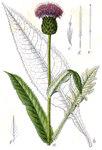 """Verschiedenblättrige Kratzdistel - Cirsium heterophyllum; Bildquelle: <a href=""""https://www.pflanzen-deutschland.de/quellen.php?bild_quelle=Deutschlands Flora in Abbildungen 1796"""">Deutschlands Flora in Abbildungen 1796</a>; Bildlizenz: <a href=""""https://creativecommons.org/licenses/publicdomain/deed.de"""" target=_blank title=""""Public Domain"""">Public Domain</a>;"""