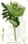 """Kohl-Kratzdistel - Cirsium oleraceum; Bildquelle: <a href=""""https://www.pflanzen-deutschland.de/quellen.php?bild_quelle=Carl Axel Magnus Lindman Bilder ur Nordens Flora 1901-1905"""">Carl Axel Magnus Lindman Bilder ur Nordens Flora 1901-1905</a>; Bildlizenz: <a href=""""https://creativecommons.org/licenses/publicdomain/deed.de"""" target=_blank title=""""Public Domain"""">Public Domain</a>;"""