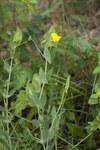 """Ranken-Platterbse - Lathyrus aphaca; Bildquelle: <a href=""""https://www.pflanzen-deutschland.de/quellen.php?bild_quelle=Wikipedia User Pichard"""">Wikipedia User Pichard</a>; Bildlizenz: <a href=""""https://creativecommons.org/licenses/by-sa/3.0/deed.de"""" target=_blank title=""""Namensnennung - Weitergabe unter gleichen Bedingungen 3.0 Unported (CC BY-SA 3.0)"""">CC BY-SA 3.0</a>; <br>Wiki Commons Bildbeschreibung: <a href=""""https://commons.wikimedia.org/wiki/File:Lathyrus_aphaca_chezy-sur-marne_02_12052007_1.jpg"""" target=_blank title=""""https://commons.wikimedia.org/wiki/File:Lathyrus_aphaca_chezy-sur-marne_02_12052007_1.jpg"""">https://commons.wikimedia.org/wiki/File:Lathyrus_aphaca_chezy-sur-marne_02_12052007_1.jpg</a>"""