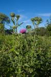 """Gewöhnliche Kratzdistel - Cirsium vulgare; Bildquelle: <a href=""""https://www.pflanzen-deutschland.de/quellen.php?bild_quelle=Wikipedia User Josve05a"""">Wikipedia User Josve05a</a>; Bildlizenz: <a href=""""https://creativecommons.org/licenses/by-sa/3.0/deed.de"""" target=_blank title=""""Namensnennung - Weitergabe unter gleichen Bedingungen 3.0 Unported (CC BY-SA 3.0)"""">CC BY-SA 3.0</a>; <br>Wiki Commons Bildbeschreibung: <a href=""""https://commons.wikimedia.org/wiki/File:Cirsium_vulgare_(19530051964).jpg"""" target=_blank title=""""https://commons.wikimedia.org/wiki/File:Cirsium_vulgare_(19530051964).jpg"""">https://commons.wikimedia.org/wiki/File:Cirsium_vulgare_(19530051964).jpg</a>"""