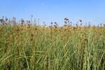 """Binsenschneide - Cladium mariscus; Bildquelle: <a href=""""https://www.pflanzen-deutschland.de/quellen.php?bild_quelle=Wikipedia User Kenraiz"""">Wikipedia User Kenraiz</a>; Bildlizenz: <a href=""""https://creativecommons.org/licenses/by/4.0/deed.de"""" target=_blank title=""""Namensnennung 4.0 International (CC BY 4.0)"""">CC BY 4.0</a>; <br>Wiki Commons Bildbeschreibung: <a href=""""https://commons.wikimedia.org/wiki/File:Cladium_mariscus_kz04.jpg"""" target=_blank title=""""https://commons.wikimedia.org/wiki/File:Cladium_mariscus_kz04.jpg"""">https://commons.wikimedia.org/wiki/File:Cladium_mariscus_kz04.jpg</a>"""