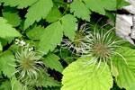 """Alpen-Waldrebe - Clematis alpina; Bildquelle: <a href=""""https://www.pflanzen-deutschland.de/quellen.php?bild_quelle=Wikipedia User Enrico Blasutto"""">Wikipedia User Enrico Blasutto</a>; Bildlizenz: <a href=""""https://creativecommons.org/licenses/by-sa/3.0/deed.de"""" target=_blank title=""""Namensnennung - Weitergabe unter gleichen Bedingungen 3.0 Unported (CC BY-SA 3.0)"""">CC BY-SA 3.0</a>; <br>Wiki Commons Bildbeschreibung: <a href=""""https://commons.wikimedia.org/wiki/File:Clematis_alpina_ENBLA04.JPG"""" target=_blank title=""""https://commons.wikimedia.org/wiki/File:Clematis_alpina_ENBLA04.JPG"""">https://commons.wikimedia.org/wiki/File:Clematis_alpina_ENBLA04.JPG</a>"""