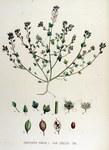 "Dänisches Löffelkraut - Cochlearia danica; Bildquelle: <a href=""https://www.pflanzen-deutschland.de/quellen.php?bild_quelle=Flora Batava of Afbeelding en Beschrijving van Nederlandsche Gewassen, XV. Deel. 1877"">Flora Batava of Afbeelding en Beschrijving van Nederlandsche Gewassen, XV. Deel. 1877</a>; Bildlizenz: <a href=""https://creativecommons.org/licenses/publicdomain/deed.de"" target=_blank title=""Public Domain"">Public Domain</a>;"