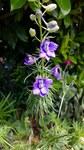 """Garten-Rittersporn - Consolida ajacis; Bildquelle: © <a href=""""https://www.pflanzen-deutschland.de/quellen.php?bild_quelle=krautigerPflanze mit blauen Blüten"""">krautigerPflanze mit blauen Blüten</a> - <b>All rights reserved</b>"""