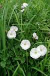 "Acker-Winde - Convolvulus arvensis; Bildquelle: © <a href=""https://www.pflanzen-deutschland.de/quellen.php?bild_quelle=Bönisch 2009"">Bönisch 2009</a> - <b>All rights reserved</b>"