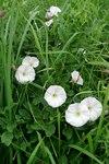 """Acker-Winde - Convolvulus arvensis; Bildquelle: &copy; <a href=""""https://www.pflanzen-deutschland.de/quellen.php?bild_quelle=Bönisch 2009"""">Bönisch 2009</a> - <b>All rights reserved</b>"""