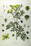 "Weinraute - Ruta graveolens; Bildquelle: <a href=""https://www.pflanzen-deutschland.de/quellen.php?bild_quelle=Köhlers Medizinal-Pflanzen in naturgetreuen Abbildungen mit kurz erläuterndem Texte. Band 1. 1887"">Köhlers Medizinal-Pflanzen in naturgetreuen Abbildungen mit kurz erläuterndem Texte. Band 1. 1887</a>; Bildlizenz: <a href=""https://creativecommons.org/licenses/publicdomain/deed.de"" target=_blank title=""Public Domain"">Public Domain</a>;"