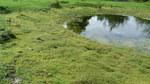 """Nadelkraut - Crassula helmsii; Bildquelle: <a href=""""https://www.pflanzen-deutschland.de/quellen.php?bild_quelle=Wikipedia User Benblondel"""">Wikipedia User Benblondel</a>; Bildlizenz: <a href=""""https://creativecommons.org/licenses/by/4.0/deed.de"""" target=_blank title=""""Namensnennung 4.0 International (CC BY 4.0)"""">CC BY 4.0</a>; <br>Wiki Commons Bildbeschreibung: <a href=""""https://commons.wikimedia.org/wiki/File:Crassula_helmsii_4.JPG"""" target=_blank title=""""https://commons.wikimedia.org/wiki/File:Crassula_helmsii_4.JPG"""">https://commons.wikimedia.org/wiki/File:Crassula_helmsii_4.JPG</a>"""