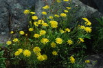 "Dach-Pippau - Crepis tectorum; Bildquelle: <a href=""https://www.pflanzen-deutschland.de/quellen.php?bild_quelle=Wikipedia User Mr.Rosewater"">Wikipedia User Mr.Rosewater</a>; Bildlizenz: <a href=""https://creativecommons.org/licenses/by-sa/2.0/deed.de"" target=_blank title=""Namensnennung - Weitergabe unter gleichen Bedingungen 2.0 Unported (CC BY-SA 2.0)"">CC BY 2.0</a>; <br>Wiki Commons Bildbeschreibung: <a href=""https://commons.wikimedia.org/wiki/File:Crepis_tectorum01.jpg"" target=_blank title=""https://commons.wikimedia.org/wiki/File:Crepis_tectorum01.jpg"">https://commons.wikimedia.org/wiki/File:Crepis_tectorum01.jpg</a>"
