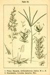 "Hundszahngras - Cynodon dactylon; Bildquelle: <a href=""https://www.pflanzen-deutschland.de/quellen.php?bild_quelle=Deutschlands Flora in Abbildungen 1796"">Deutschlands Flora in Abbildungen 1796</a>; Bildlizenz: <a href=""https://creativecommons.org/licenses/publicdomain/deed.de"" target=_blank title=""Public Domain"">Public Domain</a>;"