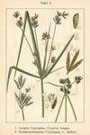 "Hohes Zypergras - Cyperus longus; Bildquelle: <a href=""https://www.pflanzen-deutschland.de/quellen.php?bild_quelle=Deutschlands Flora in Abbildungen 1796"">Deutschlands Flora in Abbildungen 1796</a>; Bildlizenz: <a href=""https://creativecommons.org/licenses/publicdomain/deed.de"" target=_blank title=""Public Domain"">Public Domain</a>;"