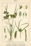 """Zwerg-Zypergras - Cyperus michelianus; Bildquelle: <a href=""""https://www.pflanzen-deutschland.de/quellen.php?bild_quelle=Deutschlands Flora in Abbildungen 1796"""">Deutschlands Flora in Abbildungen 1796</a>; Bildlizenz: <a href=""""https://creativecommons.org/licenses/publicdomain/deed.de"""" target=_blank title=""""Public Domain"""">Public Domain</a>;"""