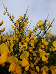"Besenginster - Cytisus scoparius; Bildquelle: <a href=""https://www.pflanzen-deutschland.de/quellen.php?bild_quelle=Wikipedia User Zytheme"">Wikipedia User Zytheme</a>; Bildlizenz: <a href=""https://creativecommons.org/publicdomain/zero/1.0/deed.de"" target=_blank title=""CC0 1.0 Universell (CC0 1.0)"">CC0 1.0</a>; <br>Wiki Commons Bildbeschreibung: <a href=""https://commons.wikimedia.org/wiki/File:Cytisus_scoparius,_dans_le_Cantal.jpg"" target=_blank title=""https://commons.wikimedia.org/wiki/File:Cytisus_scoparius,_dans_le_Cantal.jpg"">https://commons.wikimedia.org/wiki/File:Cytisus_scoparius,_dans_le_Cantal.jpg</a>"