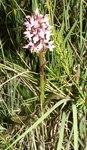 """Blutrotes Knabenkraut - Dactylorhiza cruenta; Bildquelle: <a href=""""https://www.pflanzen-deutschland.de/quellen.php?bild_quelle=Wikipedia User B.gliwa"""">Wikipedia User B.gliwa</a>; Bildlizenz: <a href=""""https://creativecommons.org/licenses/by-sa/3.0/deed.de"""" target=_blank title=""""Namensnennung - Weitergabe unter gleichen Bedingungen 3.0 Unported (CC BY-SA 3.0)"""">CC BY-SA 3.0</a>;"""