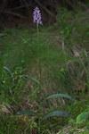"""Fuchs Knabenkraut - Dactylorhiza fuchsii; Bildquelle: <a href=""""https://www.pflanzen-deutschland.de/quellen.php?bild_quelle=Wikipedia User File Upload Bot Magnus Manske"""">Wikipedia User File Upload Bot Magnus Manske</a>; Bildlizenz: <a href=""""https://creativecommons.org/licenses/by-sa/3.0/deed.de"""" target=_blank title=""""Namensnennung - Weitergabe unter gleichen Bedingungen 3.0 Unported (CC BY-SA 3.0)"""">CC BY-SA 3.0</a>; <br>Wiki Commons Bildbeschreibung: <a href=""""https://commons.wikimedia.org/wiki/File:Dactylorhiza_fuchsii-01-Kaernten-2008-Thomas_Huntke.jpg"""" target=_blank title=""""https://commons.wikimedia.org/wiki/File:Dactylorhiza_fuchsii-01-Kaernten-2008-Thomas_Huntke.jpg"""">https://commons.wikimedia.org/wiki/File:Dactylorhiza_fuchsii-01-Kaernten-2008-Thomas_Huntke.jpg</a>"""