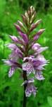 """Geflecktes Knabenkraut - Dactylorhiza maculata; Bildquelle: <a href=""""https://www.pflanzen-deutschland.de/quellen.php?bild_quelle=Wikipedia User Bff"""">Wikipedia User Bff</a>; Bildlizenz: <a href=""""https://creativecommons.org/licenses/by-sa/3.0/deed.de"""" target=_blank title=""""Namensnennung - Weitergabe unter gleichen Bedingungen 3.0 Unported (CC BY-SA 3.0)"""">CC BY-SA 3.0</a>; <br>Wiki Commons Bildbeschreibung: <a href=""""https://commons.wikimedia.org/wiki/File:Dactylorhiza_maculata20090612_162.jpg"""" target=_blank title=""""https://commons.wikimedia.org/wiki/File:Dactylorhiza_maculata20090612_162.jpg"""">https://commons.wikimedia.org/wiki/File:Dactylorhiza_maculata20090612_162.jpg</a>"""