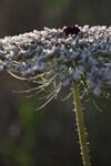 """Wilde Möhre - Daucus carota; Bildquelle: <a href=""""https://www.pflanzen-deutschland.de/quellen.php?bild_quelle=Wikipedia User Yuvalr"""">Wikipedia User Yuvalr</a>; Bildlizenz: <a href=""""https://creativecommons.org/licenses/by-sa/3.0/deed.de"""" target=_blank title=""""Namensnennung - Weitergabe unter gleichen Bedingungen 3.0 Unported (CC BY-SA 3.0)"""">CC BY-SA 3.0</a>; <br>Wiki Commons Bildbeschreibung: <a href=""""https://commons.wikimedia.org/wiki/File:Daucus_carota_-_inflorescence..jpg"""" target=_blank title=""""https://commons.wikimedia.org/wiki/File:Daucus_carota_-_inflorescence..jpg"""">https://commons.wikimedia.org/wiki/File:Daucus_carota_-_inflorescence..jpg</a>"""