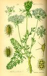 """Wilde Möhre - Daucus carota; Bildquelle: <a href=""""https://www.pflanzen-deutschland.de/quellen.php?bild_quelle=Prof. Dr. Otto Wilhelm Thome Flora von Deutschland, Österreich und der Schweiz 1885, Gera, Germany"""">Prof. Dr. Otto Wilhelm Thome Flora von Deutschland, Österreich und der Schweiz 1885, Gera, Germany</a>; Bildlizenz: <a href=""""https://creativecommons.org/licenses/publicdomain/deed.de"""" target=_blank title=""""Public Domain"""">Public Domain</a>;"""