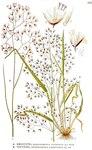 "Draht-Schmiele - Deschampsia flexuosa; Bildquelle: <a href=""https://www.pflanzen-deutschland.de/quellen.php?bild_quelle=Carl Axel Magnus Lindman Bilder ur Nordens Flora 1901-1905"">Carl Axel Magnus Lindman Bilder ur Nordens Flora 1901-1905</a>; Bildlizenz: <a href=""https://creativecommons.org/licenses/publicdomain/deed.de"" target=_blank title=""Public Domain"">Public Domain</a>;"