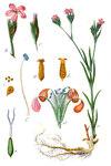 """Büschel-Nelke - Dianthus armeria; Bildquelle: <a href=""""https://www.pflanzen-deutschland.de/quellen.php?bild_quelle=Wikipedia User Finavon"""">Wikipedia User Finavon</a>; Bildlizenz: <a href=""""https://creativecommons.org/licenses/by-sa/3.0/deed.de"""" target=_blank title=""""Namensnennung - Weitergabe unter gleichen Bedingungen 3.0 Unported (CC BY-SA 3.0)"""">CC BY-SA 3.0</a>;"""