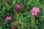 "Karthäuser-Nelke - Dianthus carthusianorum; Bildquelle: <a href=""https://www.pflanzen-deutschland.de/quellen.php?bild_quelle=Wikipedia User Jan Eckstein"">Wikipedia User Jan Eckstein</a>; Bildlizenz: <a href=""https://creativecommons.org/licenses/by-sa/3.0/deed.de"" target=_blank title=""Namensnennung - Weitergabe unter gleichen Bedingungen 3.0 Unported (CC BY-SA 3.0)"">CC BY-SA 3.0</a>;"