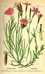 """Karthäuser-Nelke - Dianthus carthusianorum; Bildquelle: <a href=""""https://www.pflanzen-deutschland.de/quellen.php?bild_quelle=Prof. Dr. Otto Wilhelm Thome Flora von Deutschland, Österreich und der Schweiz 1885, Gera, Germany"""">Prof. Dr. Otto Wilhelm Thome Flora von Deutschland, Österreich und der Schweiz 1885, Gera, Germany</a>; Bildlizenz: <a href=""""https://creativecommons.org/licenses/publicdomain/deed.de"""" target=_blank title=""""Public Domain"""">Public Domain</a>;"""